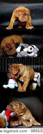 Dog de Bordeaux puppy