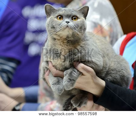 Blue Tortie British Shorthair cat being held at cat show