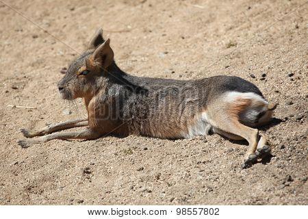 Patagonian mara (Dolichotis patagonum). Wild life animal.