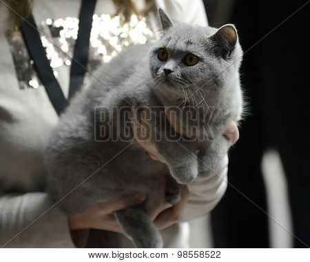 Blue British Shorthair cat being held at cat show