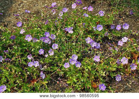 Geranium praetense