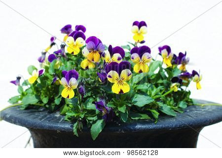 Flower Yellow With Purple Pansies