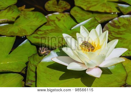 Small Green Frog Sitting On A Water Lily