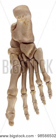 medically accurate illustration of the foot bones