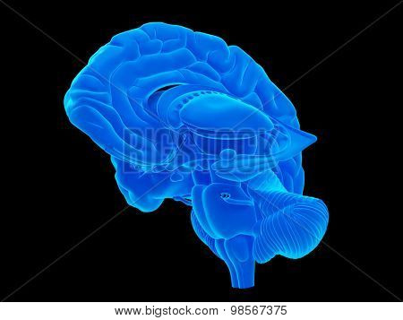 medically accurate illustration of the internal brain anatomy