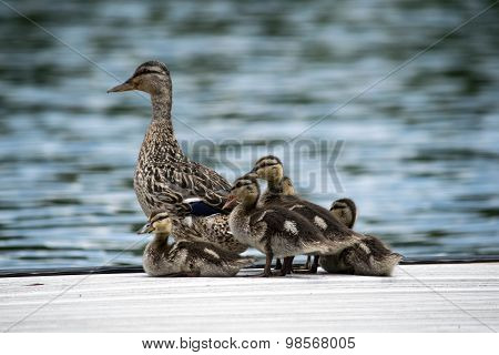 Baby duck with mother duck