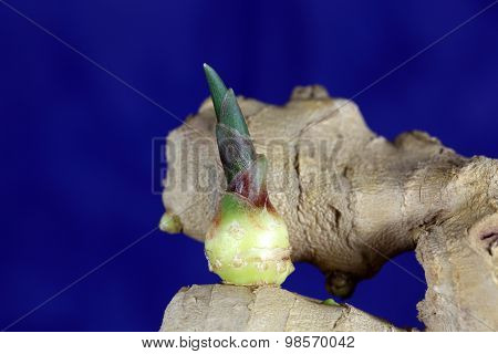 Ginger Seedling