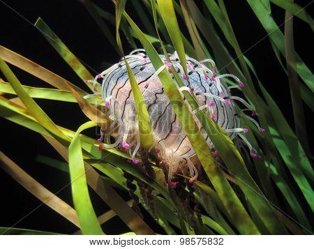 Flower Hat Jellyfish