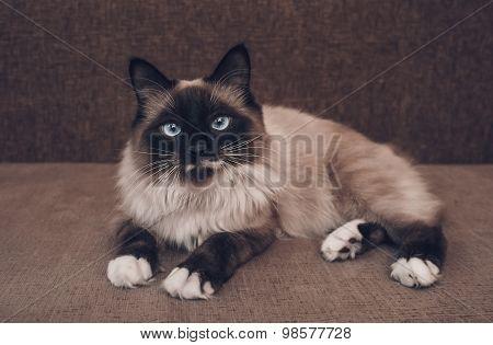 Siamese Cat Lying On Sofa