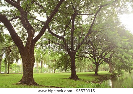 Old Trees In The Park