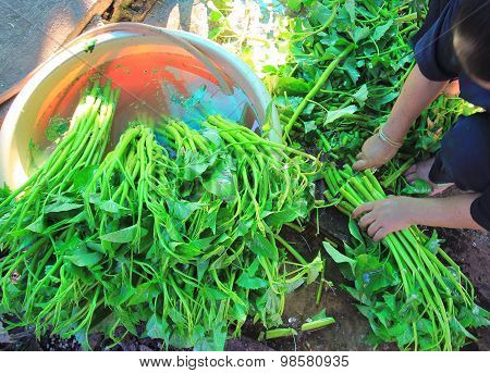 Water Spinach Or Morning Glory