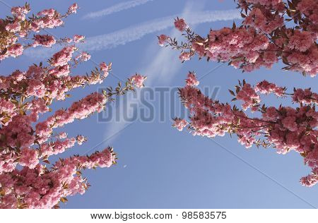 Cherry blossom trees in april, France.