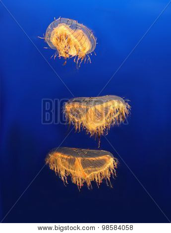 Jellyfish in the oceanarium