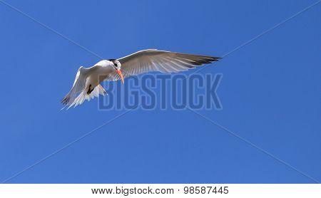 Elegant tern, Thalasseus elegans