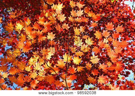 red and yellow fallen maple leaves natural background