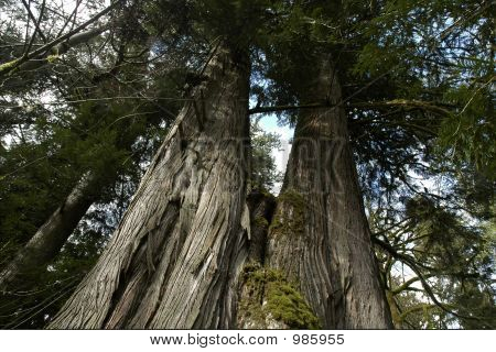 Tallest Of Trees