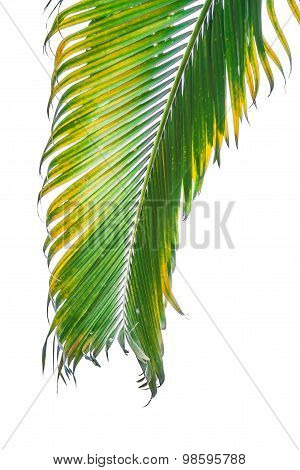 Branch Of Palm Tree Isolated On White Background