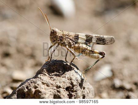 Locusts In The Desert Field
