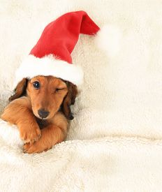 stock photo of puppy christmas  - Longhair dachshund puppy - JPG