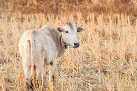 picture of dry grass  - white cow and dry grass cattle on the farm in rural thailand - JPG