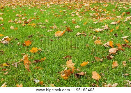 poster of Background of colorful autumnal leaves in the grass. Golden autumn. Green meadow covered with fallen leaves. Falling maple leaves and green grass on ground. Autumn leaves on lawn. Background of colorful autumnal leaves in the grass. Golden autumn.