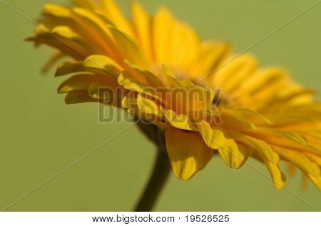 side view of yellow gerber daisy on green background