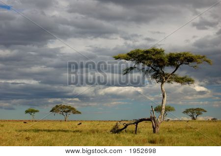 Acacia Scene
