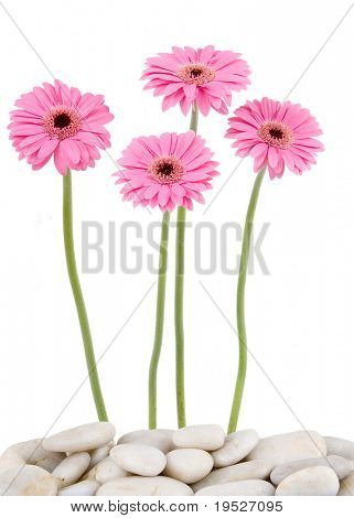 four pink gerbera daisies & river rocks - isolated on white