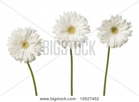 three white gerber daisies isolated on white background