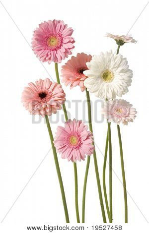 7 pink gerber daisies isolated on white background
