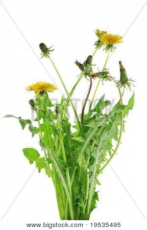 Fresh bouquet of yellow dandelion  isolated on white background