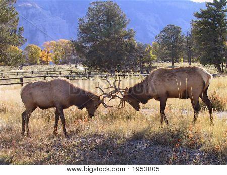 Kämpfende Elk