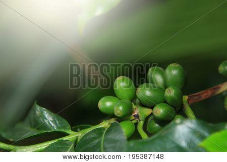 Close up of coffee seeds on a coffee tree