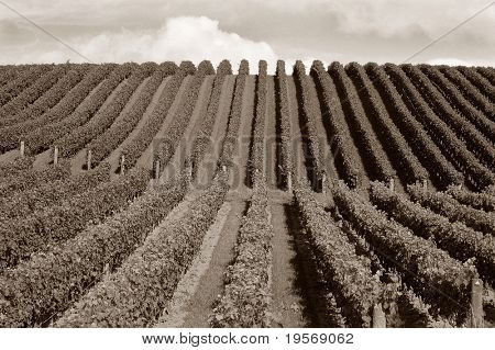 Vineyard in Matakana, North Island, New Zealand