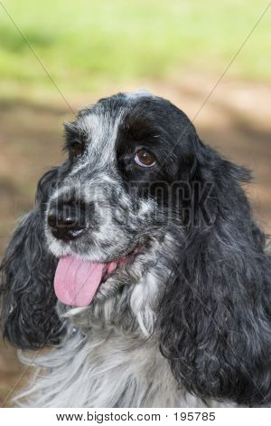Beautiful Cocker Spaniel