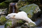 stock photo of polar bears  - Sleeping Polar Bear - JPG