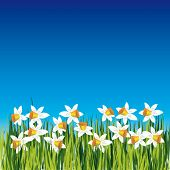 stock photo of narcissi  - Meadow with narcissi - JPG