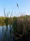 pic of bull rushes  - tall reeds in a pond casting reflections - JPG