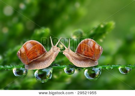 Love-making snails couple on a dewy grass. Love metaphor.
