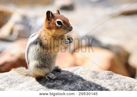 Squirrel on a rock in Banff National Park, Canada