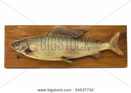 Capital Grayling, dried, on wood, Taxidermy