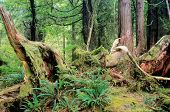 pic of pacific rim  - Trees and foliage in rain forest Pacific Rim National Park - JPG
