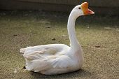Domestic goose (Anser cygnoides domesticus). poster