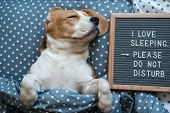 Dog Beagle Funny Sleeping On The Pillow Next To The Board With The Inscription - I Love To Sleep . P poster