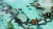 Many Brown Sting Rays With One Black Sting Ray In The Clear Water Of The Bahamas. poster