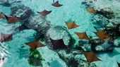 A Lot Of Young And Healthy Sting Rays Swimming In The Clear Water Of The Bahamas. poster