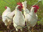 picture of chicken-wire  - illustration of chickens behind chicken wire fence - JPG
