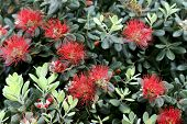 Floral Background.red Interesting Fluffy Flowers On A Background Of Green Leaves. Horizontal, Close- poster