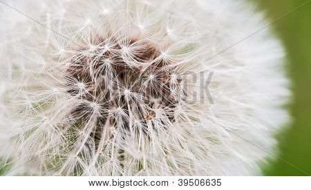 Close Up Dandelion Poof