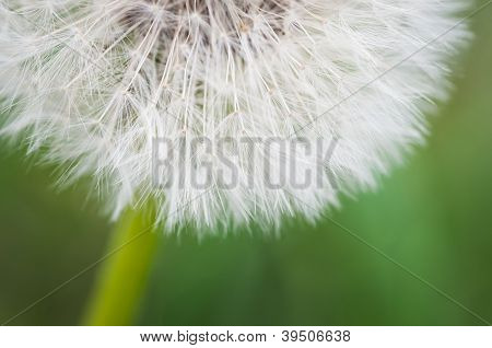 Bottom And Stem Of Dandelion Poof